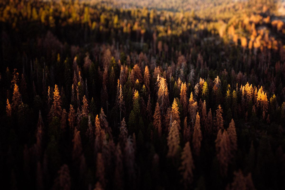 Sequoia, Trees, Fall, Forest